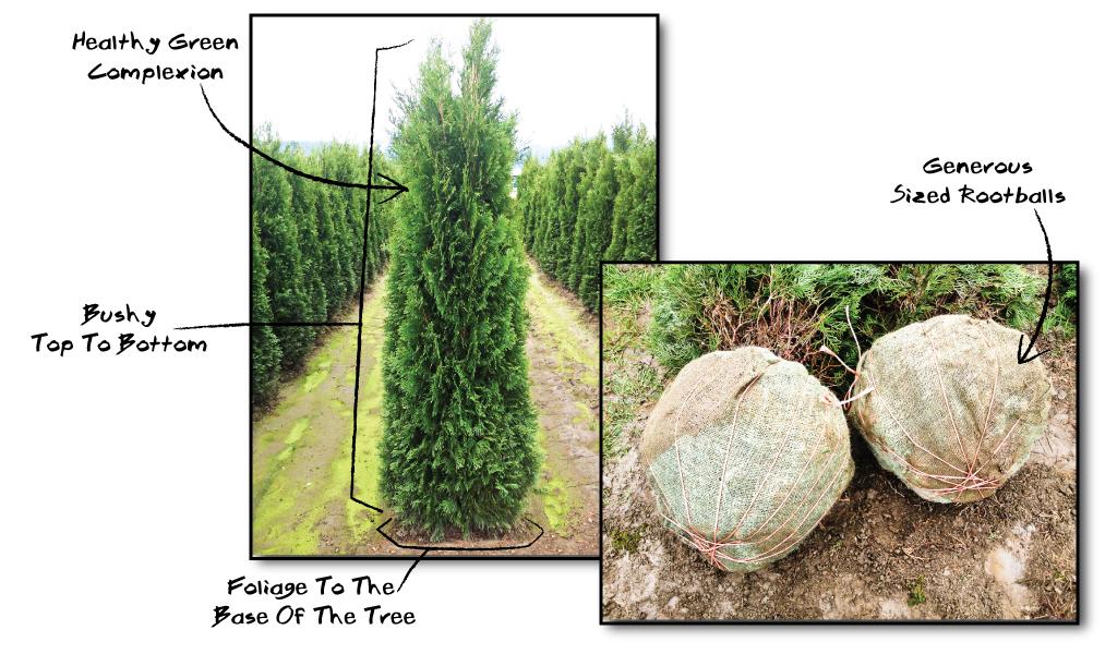 cedar trees fraser valley