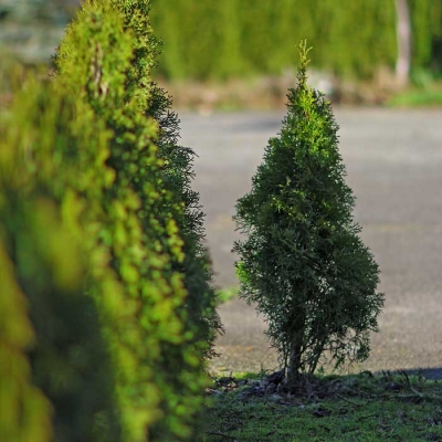 how to plant a cedar tree