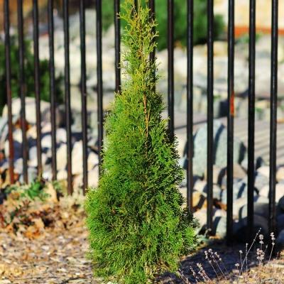 growing cedar trees