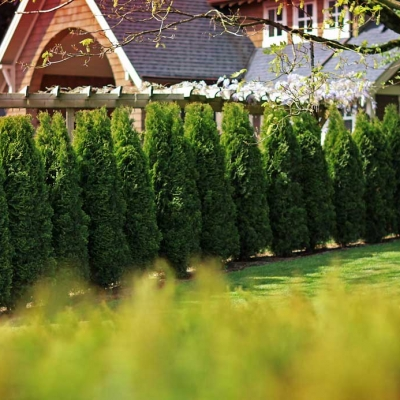 cedar tree hedge fence
