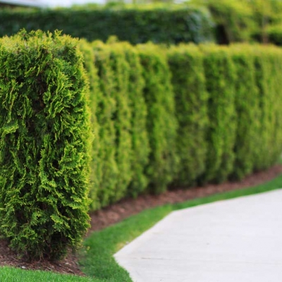 cedar tree hedge