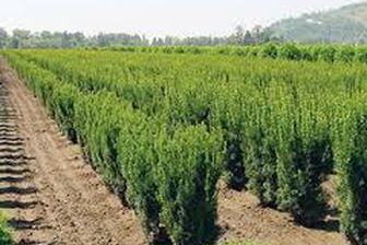 cedar tree farm bc, cedar hedges spokane