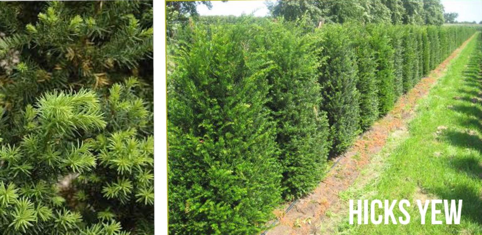 hicks yew cedar hedge