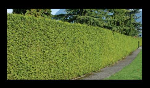 cedar hedge trim