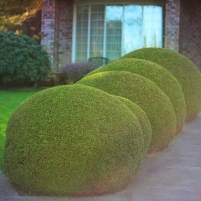 cedar trees designs