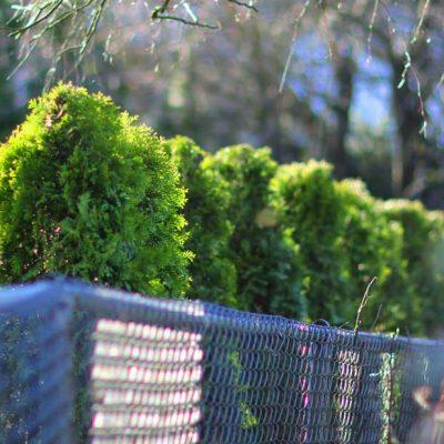 cedar tree fence