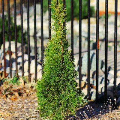 growing cedar trees