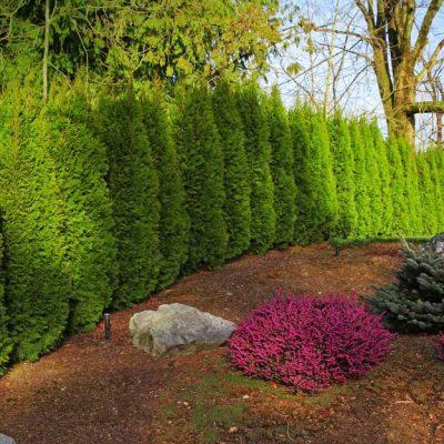 cedar tree landscaping