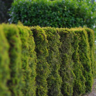 cedar tree hedge