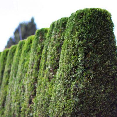 cedar tree design in bc