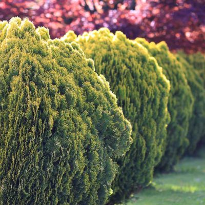 cedar tree ideas