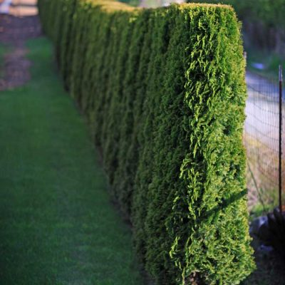 cedar tree hedges
