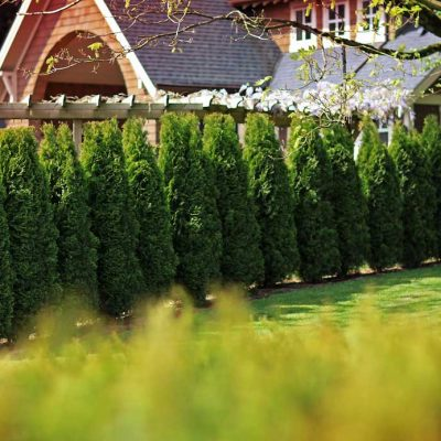 cedar tree hedge fence