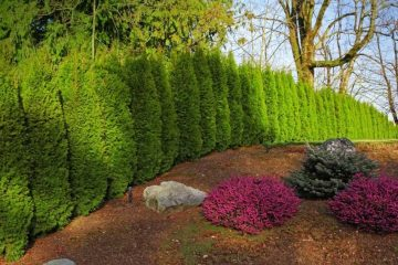 Cedar Hedges & ideas
