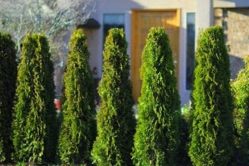 Our Cedar Tree Varieties