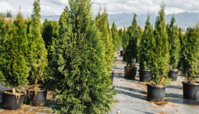 FVC fraser vallley cedars 002 trees vancouver