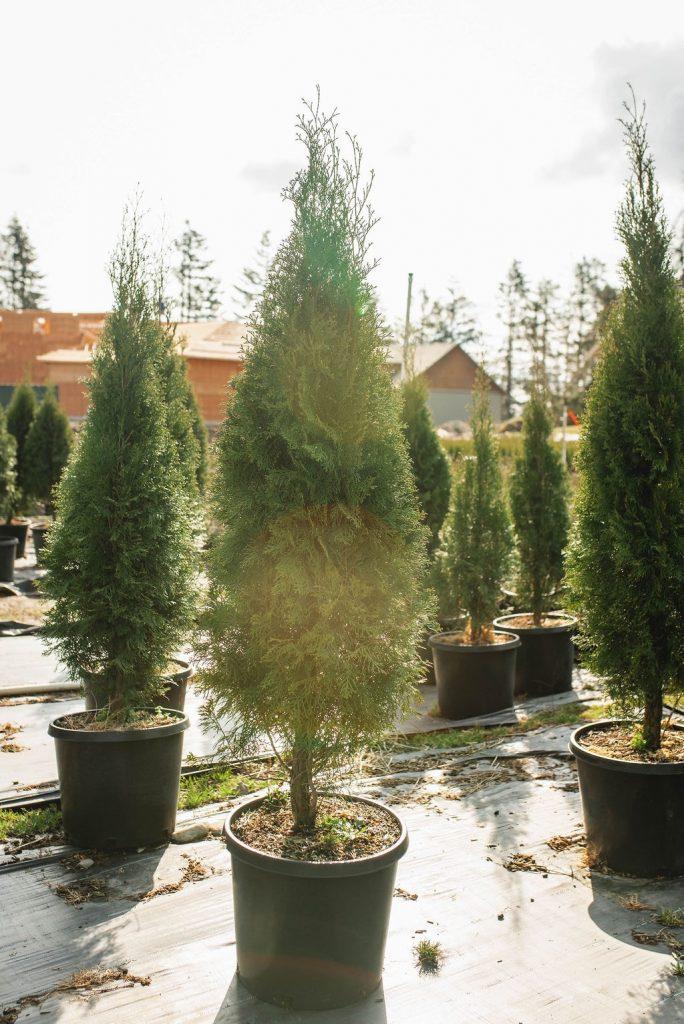 FVC fraser vallley cedars 003 trees vancouver