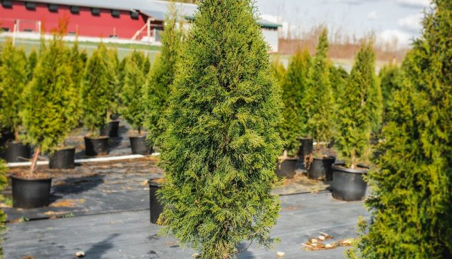 FVC fraser vallley cedars 004 trees vancouver