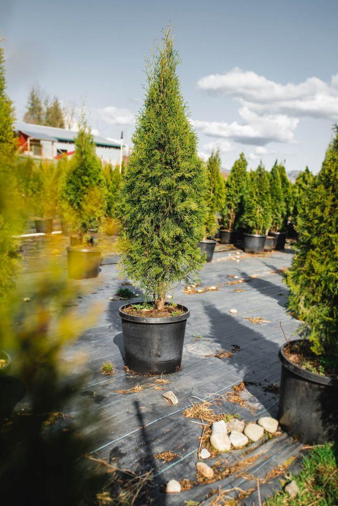 FVC fraser vallley cedars 005 trees vancouver
