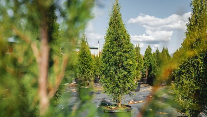 FVC fraser vallley cedars 006 trees vancouver