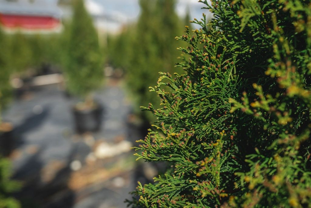 FVC fraser vallley cedars 008 trees vancouver