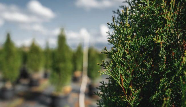 FVC fraser vallley cedars 009 trees vancouver