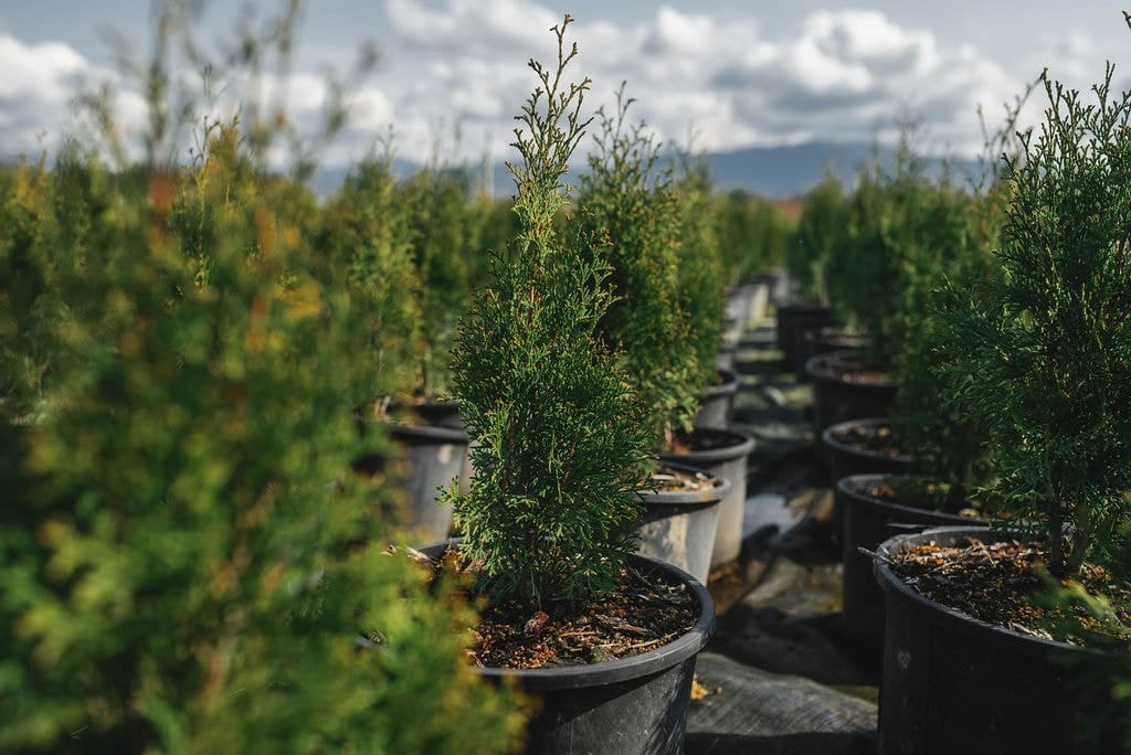 FVC fraser vallley cedars 010 trees vancouver