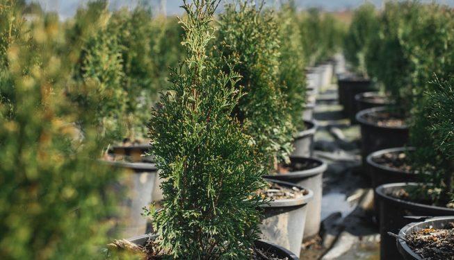 FVC fraser vallley cedars 011 trees vancouver