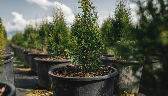 FVC fraser vallley cedars 012 trees vancouver
