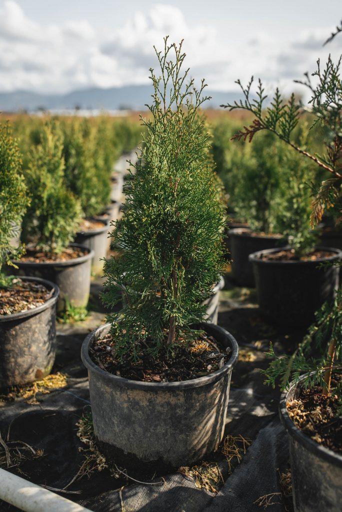 FVC fraser vallley cedars 013 trees vancouver
