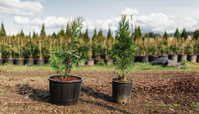FVC fraser vallley cedars 014 trees vancouver