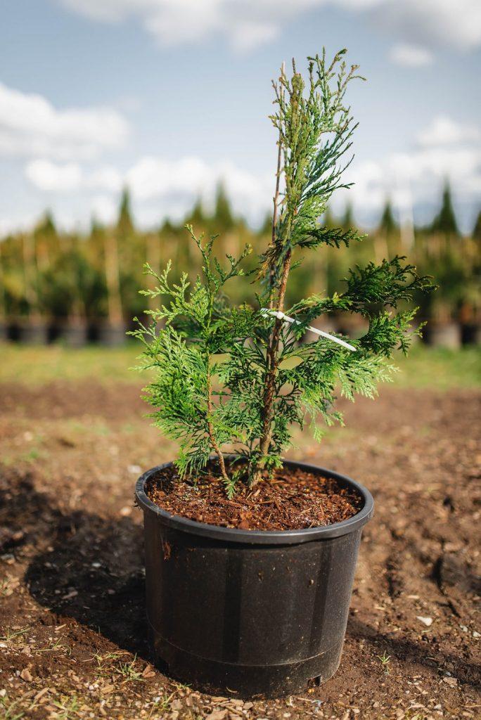 FVC fraser vallley cedars 015 trees vancouver