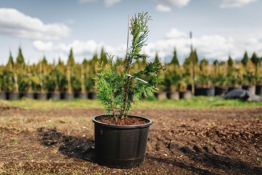 FVC fraser vallley cedars 016 trees vancouver