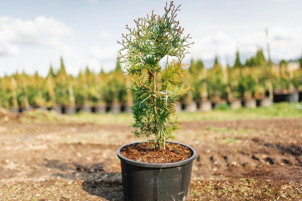 FVC fraser vallley cedars 017 trees vancouver