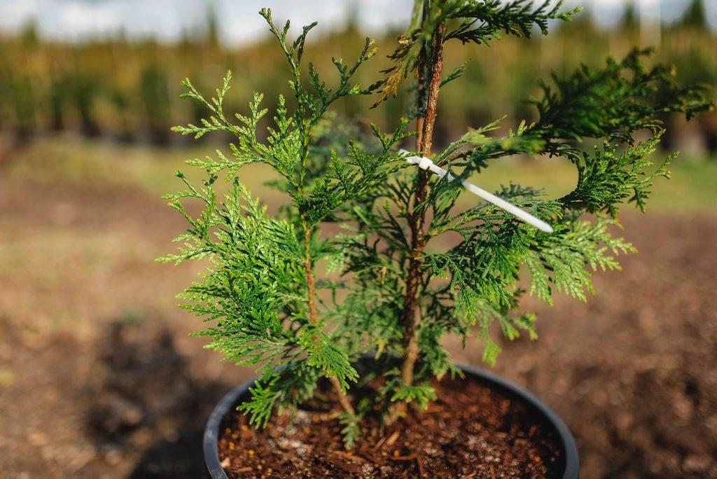 FVC fraser vallley cedars 018 trees vancouver