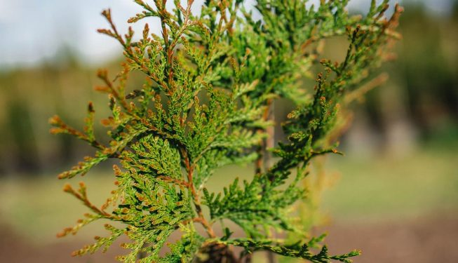 FVC fraser vallley cedars 020 trees vancouver
