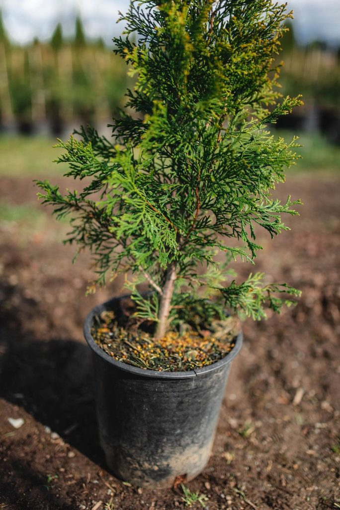 FVC fraser vallley cedars 021 trees vancouver
