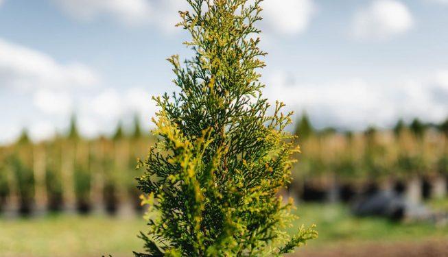 FVC fraser vallley cedars 022 trees vancouver