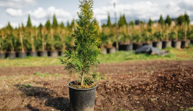 FVC fraser vallley cedars 023 trees vancouver