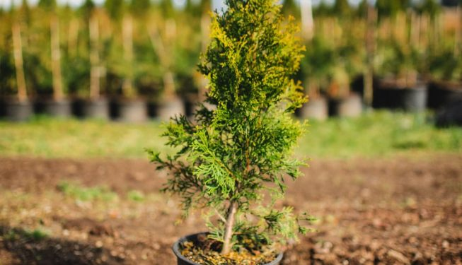 FVC fraser vallley cedars 024 trees vancouver