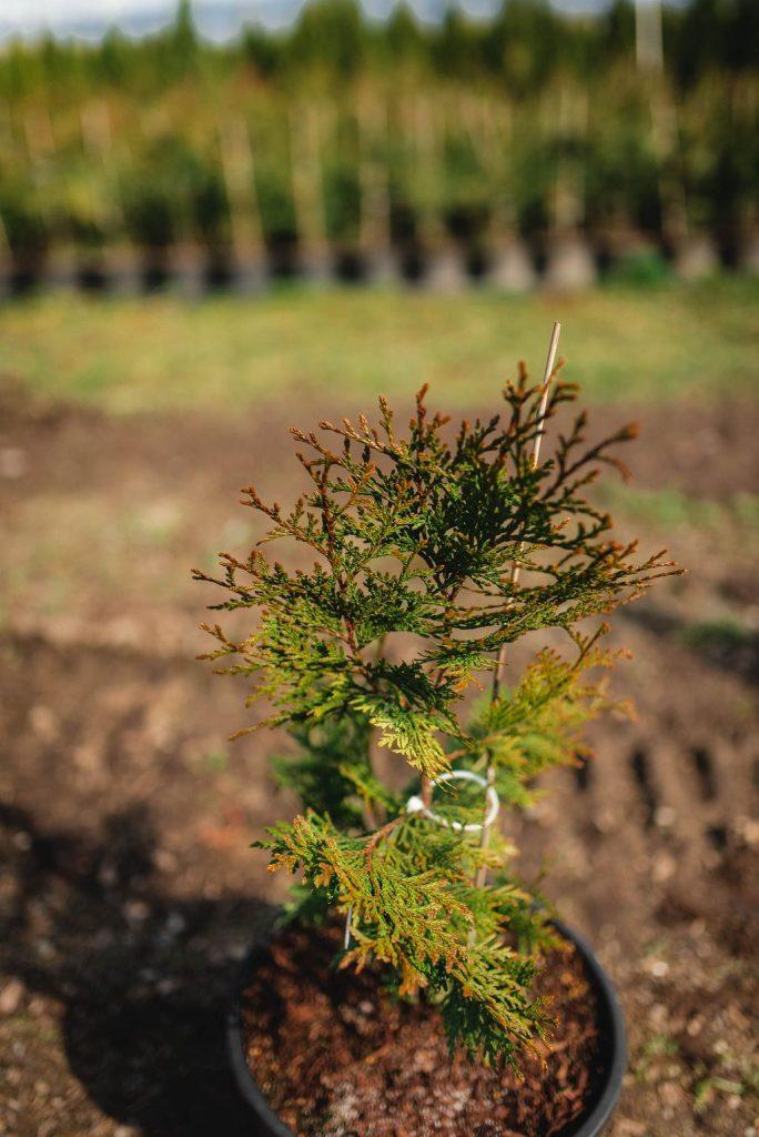 FVC fraser vallley cedars 026 trees vancouver