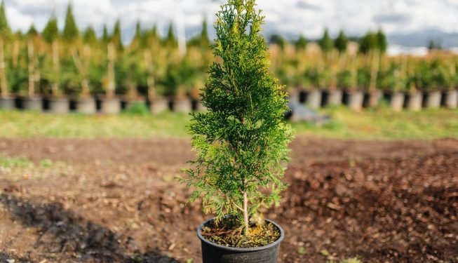 FVC fraser vallley cedars 028 trees vancouver