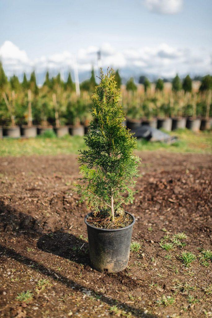 FVC fraser vallley cedars 029 trees vancouver