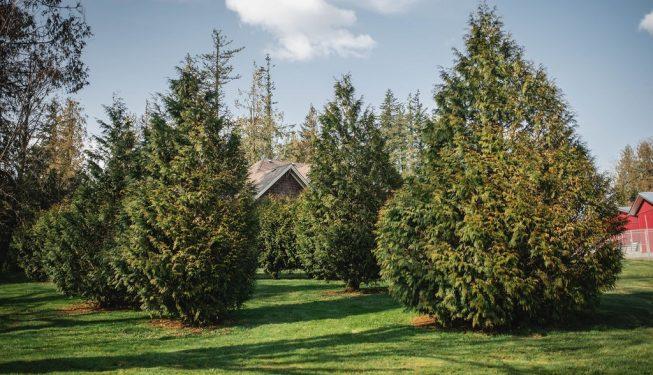 FVC fraser vallley cedars 030 trees vancouver
