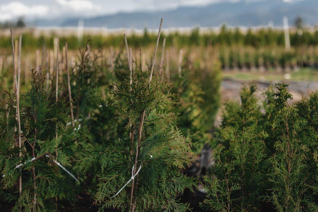 FVC fraser vallley cedars 034 trees vancouver