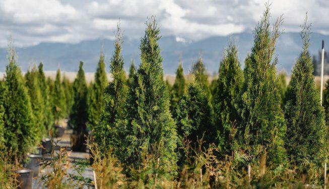 FVC fraser vallley cedars 035 trees vancouver