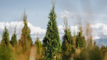 FVC fraser vallley cedars 036 trees vancouver