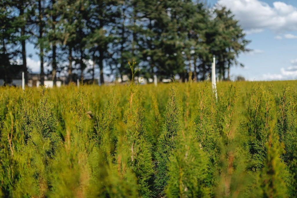 FVC fraser vallley cedars 038 trees vancouver