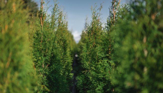 FVC fraser vallley cedars 039 trees vancouver