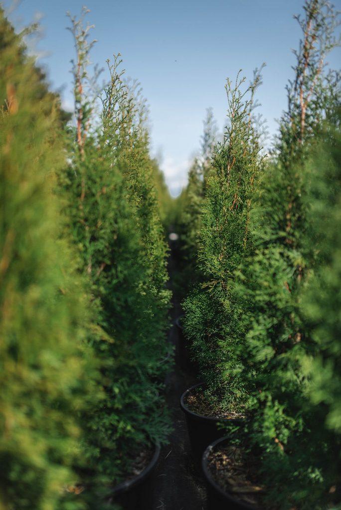 FVC fraser vallley cedars 040 trees vancouver